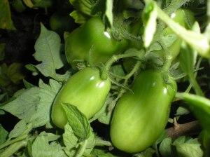 Green plum tomatoes