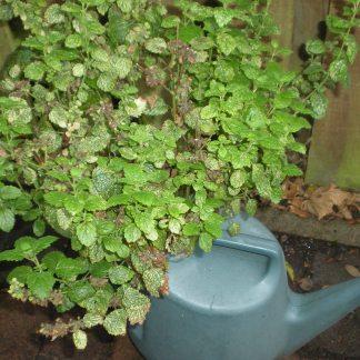 Lemon balm in leaky watering can