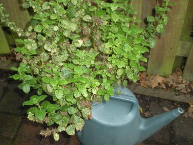 Lemon balm in leaky watering can