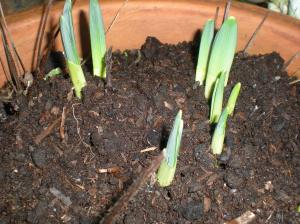 Daffodil shoots December 31st