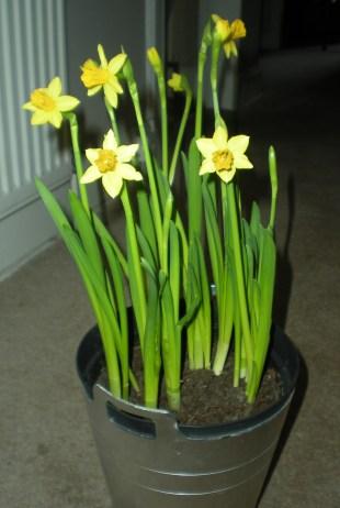 Elgar daffodils