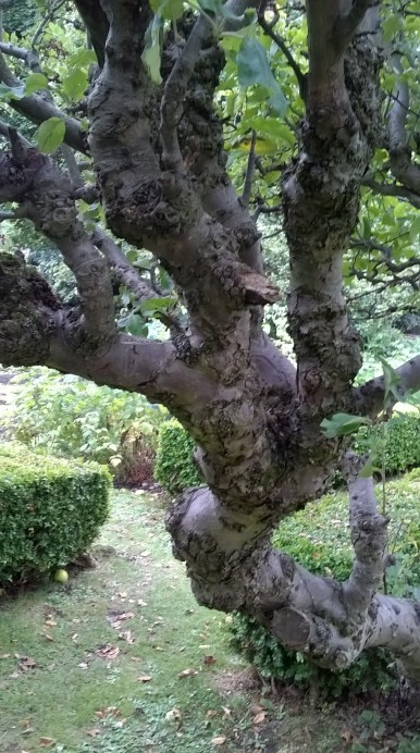 Gnarled apple tree