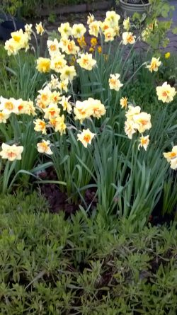 daffodils May