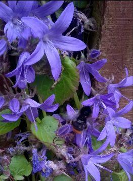 Bee on campanula