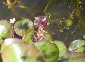 frog on lily pad